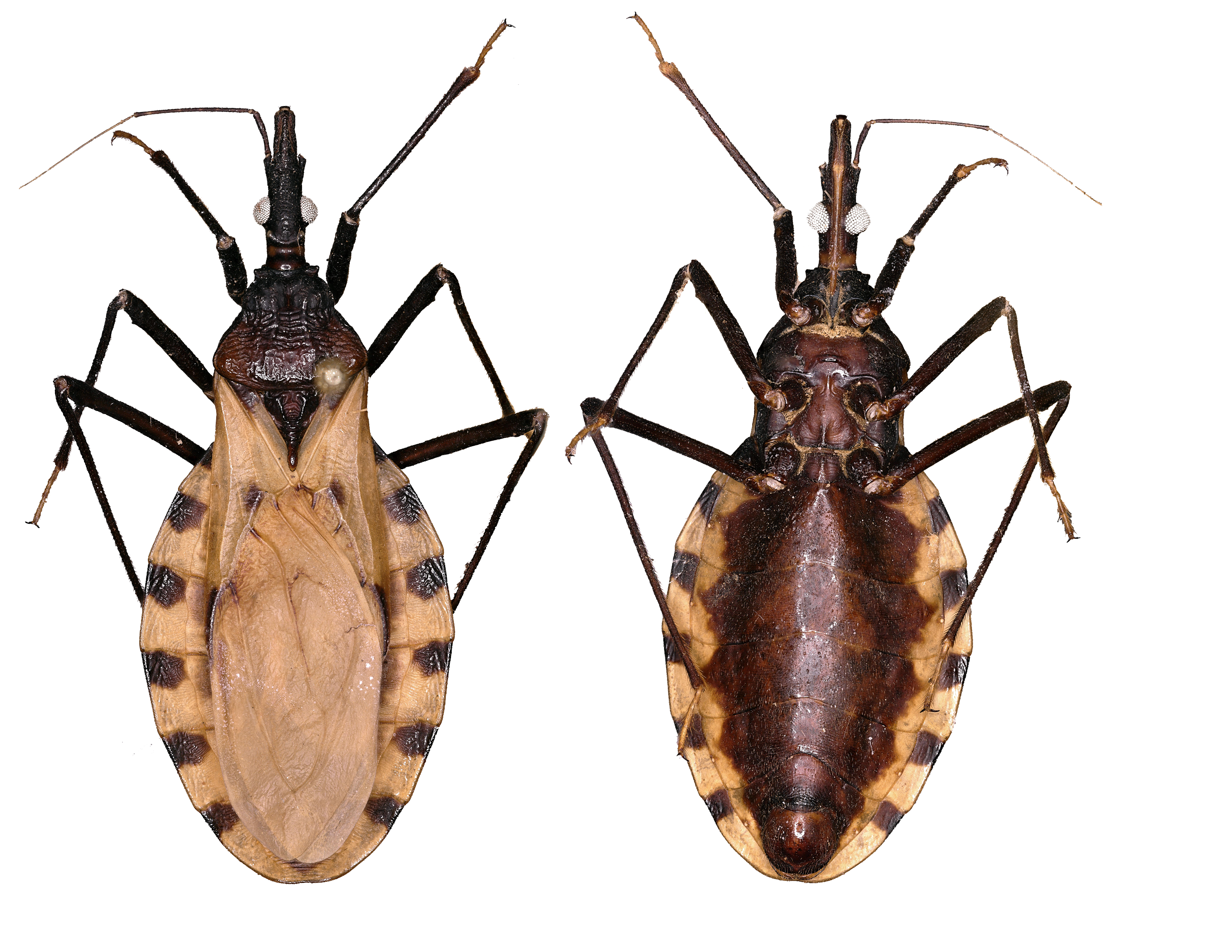 Dorsal and ventral views of kissing bug